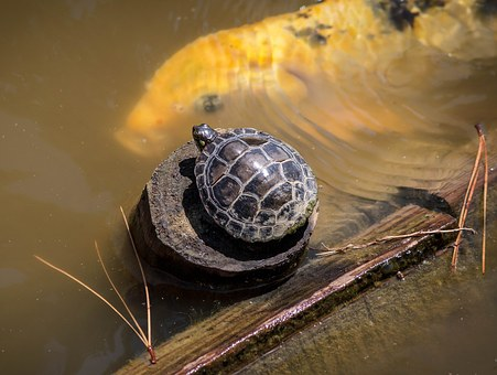 baby-turtle-1456686__340